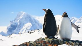Two penguins. Dreaming sitting on a rock, mountains in the background stock video footage
