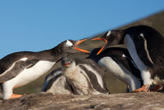 Two Penguins Fighting Royalty Free Stock Photography