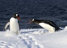 Two Penguins Gentu Fighting On A Snowy Stock Photos