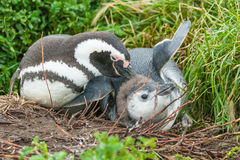 Two penguins on ground in Punta Arenas Stock Photography