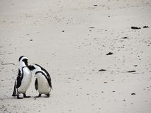Two penguins kissing on beach stock photography