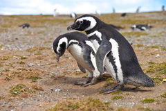 Two penguins looking for a nest Royalty Free Stock Photography