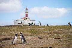Two penguins looking for a nest Royalty Free Stock Photos