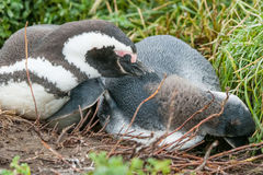 Two penguins lying on ground Royalty Free Stock Images