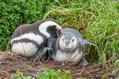 Two penguins lying Royalty Free Stock Images