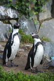 Two penguins on a natural background. Two little penguins on a natural background Royalty Free Stock Photo