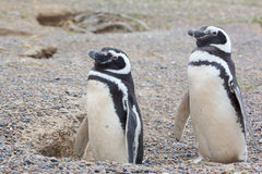 Two penguins and nest Stock Images