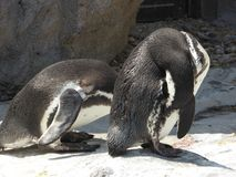 Two penguins pecking their own skin Stock Images