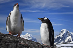 Two penguins resting Royalty Free Stock Images