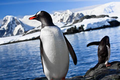 Two penguins resting Stock Image