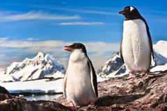 Two penguins resting Stock Photos