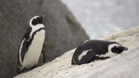 Two penguins resting on boulders. Two penguins resting on a boulder stock video footage