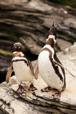 Two penguins roaring on the rocks Stock Photos