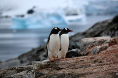 Two gentoo penguins on a rock in Antarctica. With glaciers in the background. December 2013 Stock Images