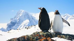 Two penguins on the rock. 4k, 25fps stock footage