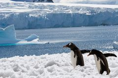 Two penguins in snow stock photography