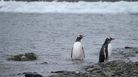 Two penguins stand in the water on the shore. Andreev. Two penguins stand in the water on the shore. Waves come ashore from rocks. Ocean and glacier in the stock footage