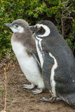 Two penguins standing Royalty Free Stock Photo