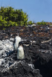 Two penguins standing on volcanic rock Royalty Free Stock Images