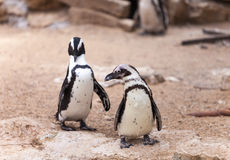 Two penguins for a walk in nature Stock Images