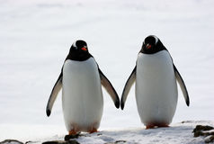 Two penguins walk side by side. Against the backdrop of the snow Royalty Free Stock Images