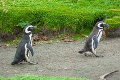 Two penguins walking on rustic road Stock Image