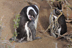 Two penguins. Stock Photo