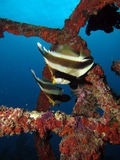 Two Pennant Bannerfish royalty free stock photos