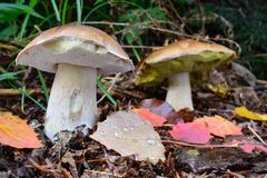 Two Penny Bun mushrooms in natural habitat. Two Boletus edulis or Penny Bun mushrooms, or Ceps  in natural habitat with some autumn leaves covered with morning Stock Photography