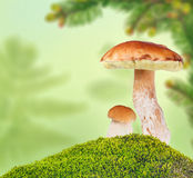Two penny buns in moss on green background Stock Image