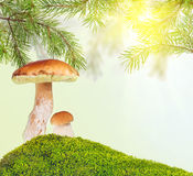 Two penny buns under pine in green moss on sunny background Stock Photos