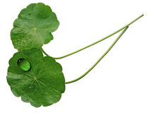 Two Pennywort Leaves Royalty Free Stock Photography
