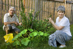 Two pensioners at a bush of gooseberry and vegetable marrow Royalty Free Stock Photos