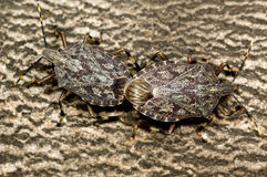 Two Pentatomidae stink bugs mating Stock Photography