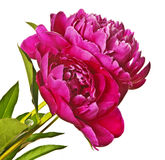Two peonies Royalty Free Stock Images