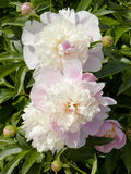 Two peonies Royalty Free Stock Photography