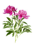 Two peony flower Stock Photography
