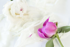 Two peony on a white background. Two different peony on a white background royalty free stock images