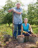 Two people harvested potatoes in field Royalty Free Stock Photography