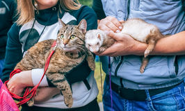 Two people holding on their hands cat and ferret royalty free stock photography