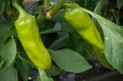 Two Peppers in a green house Stock Image