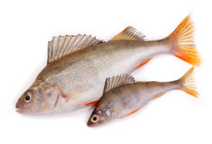 Two perch Stock Photo