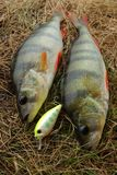 Two perch caught on wobbler and fishing lures Royalty Free Stock Images
