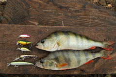 Two perch caught on wobbler and fishing lures. Summer spinning fishing. Colorful perch caught on wobbler Royalty Free Stock Images