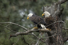 Two perched eagles. Royalty Free Stock Images