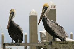 Two perched pelicans Stock Photography
