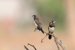 Two perching White-rumped Munia. Goa, India Royalty Free Stock Images