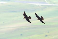 Two peregrine falcons flying together