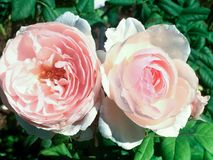two perfect pink roses on a bush royalty free stock images