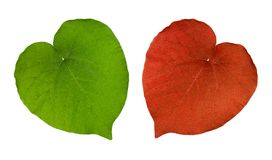 Two Perfectly heart-shaped leaves Stock Photo